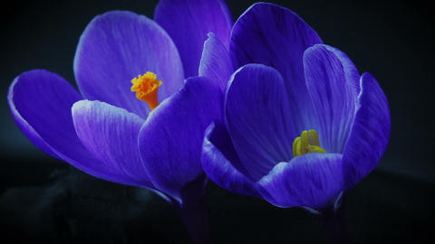 Blossoming blue crocus flowers. 4k Footage