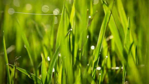 Grass With Dew Macro Bokeh Background Footage