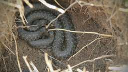 Water Snake, Grass-snake Footage