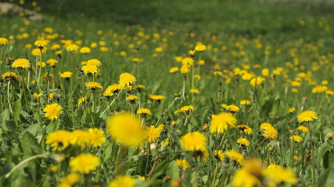 Background From Dandelion, Movement of a Camera is Glide Footage