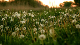 Dandelion Field At Sunrise. Twilight, Dew, Frost stock footage