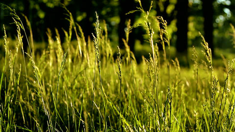 Wind shakes the grass at dawn. The sun's rays can be seen in the grass Footage