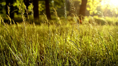 Wind Shakes The Grass At Dawn. The Sun's Rays Can Be Seen In The Grass stock footage