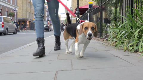 Dog Being Taken For Walk Along City Street Footage