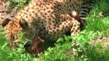 Cheetah Eating Raw Meat stock footage