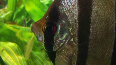 Angelfish in Aquarium Stock Video Footage