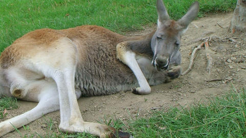 Kangaroo Laying Down And Sleeping Stock Video Footage