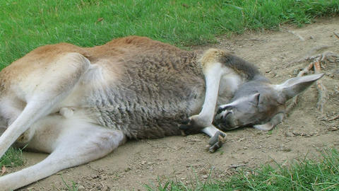 Kangaroo Sleeping And Scratching Stock Video Footage