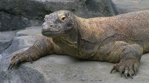 Komodo Dragon Looking Around Stock Video Footage