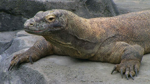 Komodo Dragon Looking Around Footage