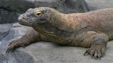 Komodo Dragon Looking Around Footage