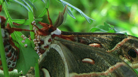 Cecropia Moths Mating 03 Stock Video Footage