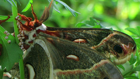 Male Cecropia Moth Stock Video Footage