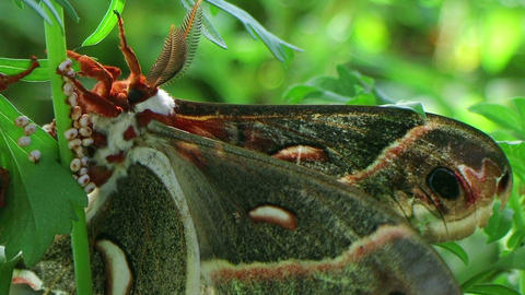 Male Cecropia Moth Footage