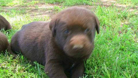 Curious Labrador Retriever Puppy Stock Video Footage