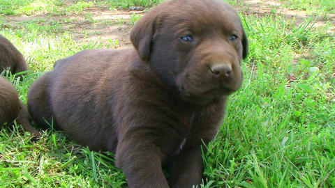 Curious Labrador Retriever Puppy Footage