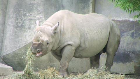 Rhinoceros Eating Stock Video Footage