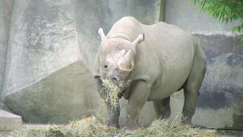 Rhinoceros Eating Stock Video Footage