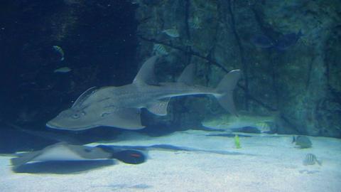 Shark Ray Swimming 02 Stock Video Footage
