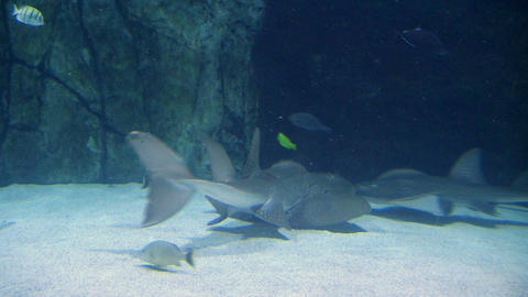 Shark Ray Swimming 02 Footage