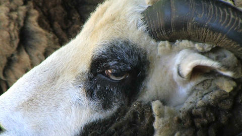 Jacob Sheep Close-up Stock Video Footage