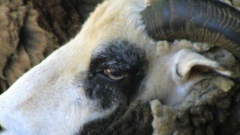 Jacob Sheep Close-up Stock Video Footage