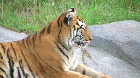 Tiger Rests On Rock 02 stock footage