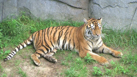Tiger Rolls Over Stock Video Footage