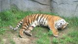 Tiger Rolls Over stock footage
