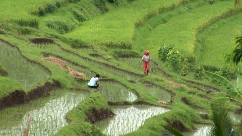 walking on rice field Stock Video Footage