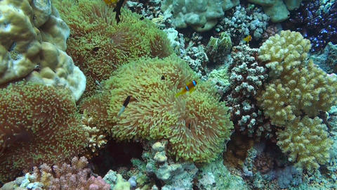 Anemonefish Stock Video Footage