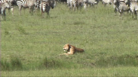 Lioness resting Footage