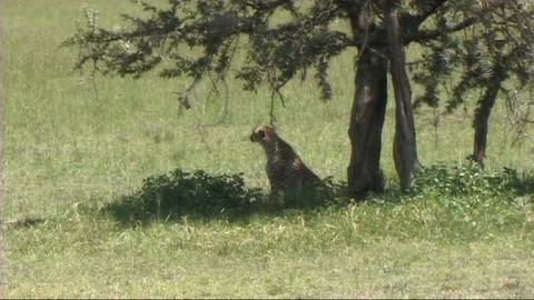 Cheetah sitting Stock Video Footage
