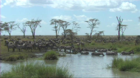 Zebra drinking Stock Video Footage