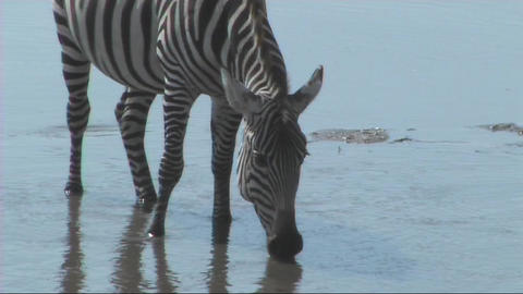 Zebra drinking Footage