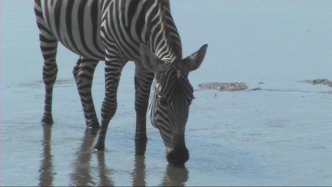 Zebra drinking Stock Video Footage