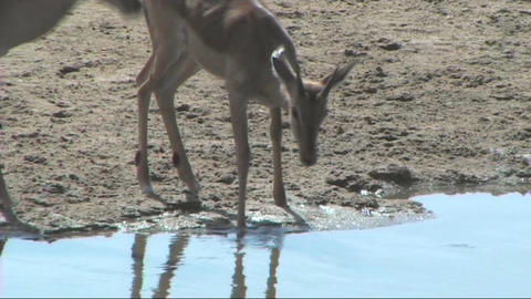 Impala drinking Stock Video Footage