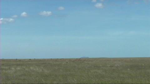 Thomsons gazelle grazing Stock Video Footage