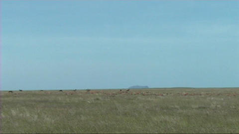 Thomsons gazelle grazing Stock Video Footage