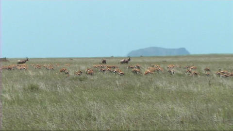 Thomsons gazelle grazing Footage