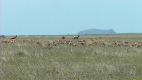 Thomsons gazelle grazing Footage