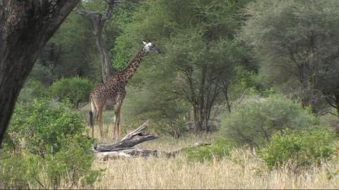 Giraffe feeding Live Action