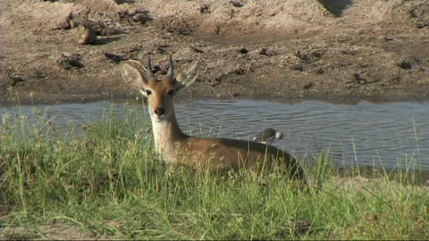 Reetbuck resting Stock Video Footage