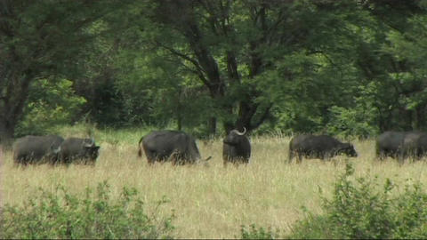 Herd of buffalo Stock Video Footage