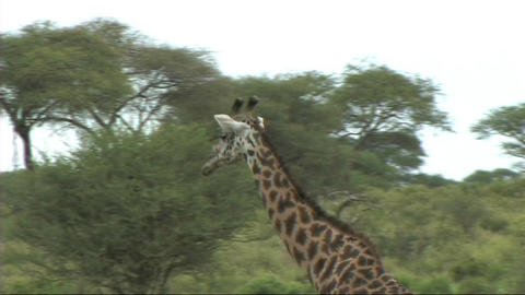 Giraffe walking Live Action