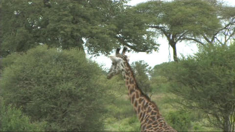 Giraffe walking Stock Video Footage