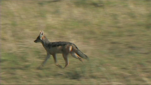 Black-backed jackal walking Footage
