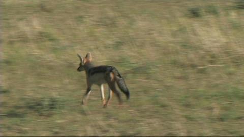 Black-backed jackal walking Stock Video Footage