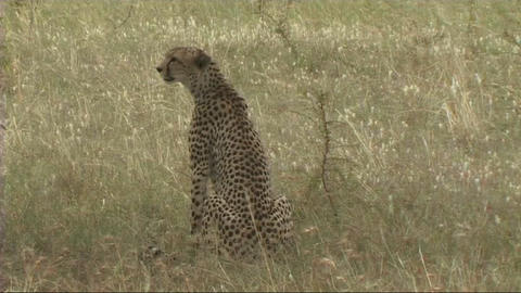 Cheetah hunting Stock Video Footage