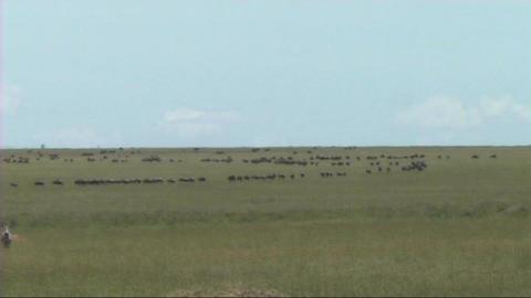 Migration of wildebeest Stock Video Footage